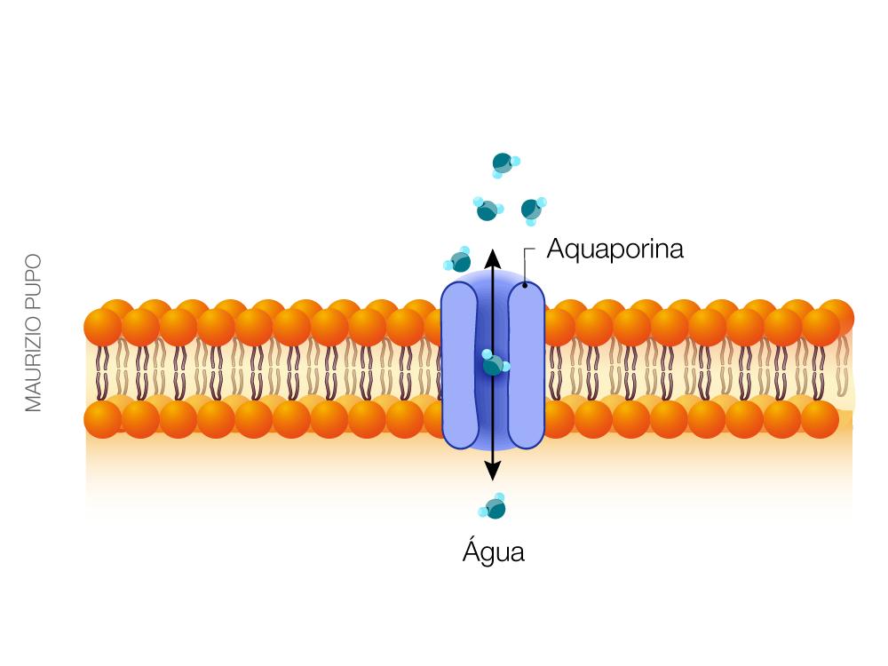 O que são Aquaporinas? Qual seu papel na hidratação da pele?